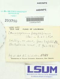 Leucocoprinus fragilissimus image