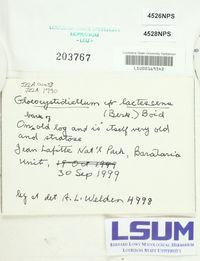 Gloiothele lactescens image