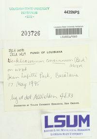 Berkleasmium concinnum image