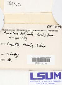 Auricularia polytricha image