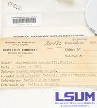 Auricularia tenuis image