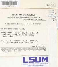 Auricularia delicata image