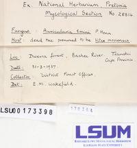 Auricularia emini image