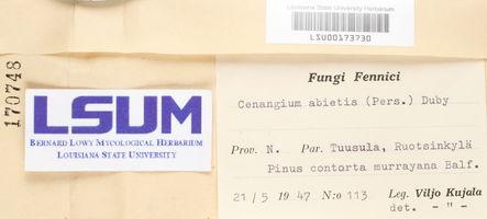 Cenangium ferruginosum image