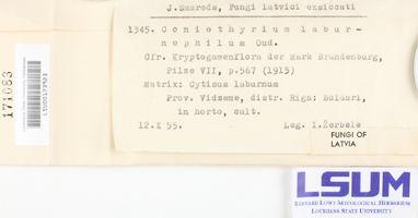 Image of Coniothyrium laburnophilum