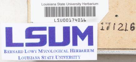 Corticium caeruleum image