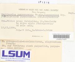 Cortinarius purpurascens image