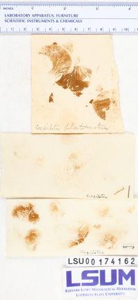 Crepidotus fulvotomentosus image