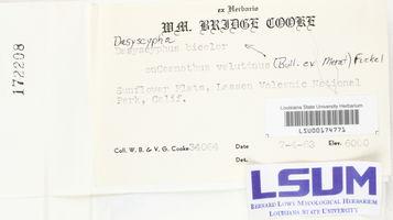 Dasyscypha bicolor image