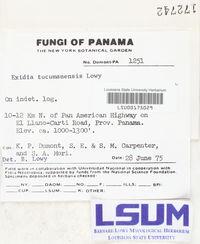 Exidia tucumanensis image