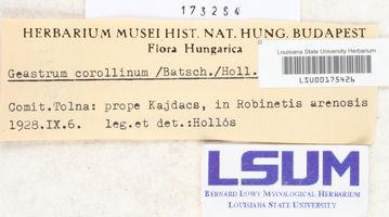 Geastrum corollinum image