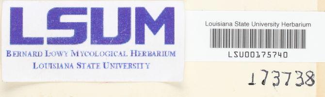Hydnellum velutinum image
