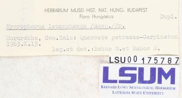 Hygrophorus leucophaeus image