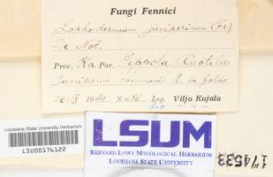 Lophodermium juniperinum image