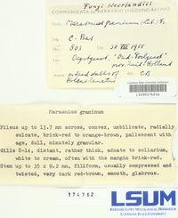 Marasmius graminum image