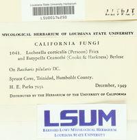 Lachnum corticale image