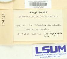 Lachnum bicolor image