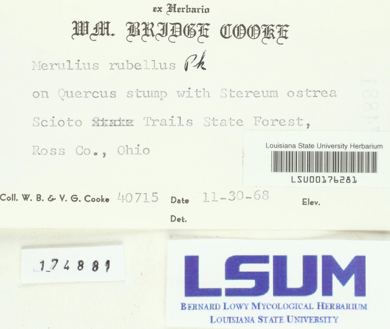 Merulius rubellus image