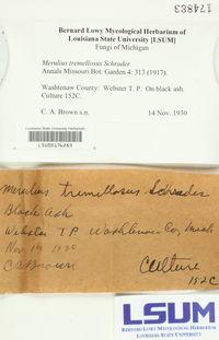 Merulius tremellosus image