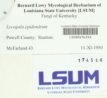 Lycogala epidendrum image