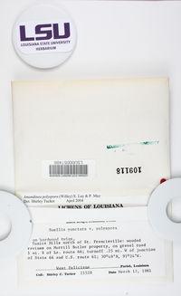 Amandinea polyspora image