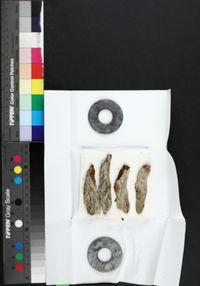 Anisomeridium biforme image