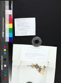 Anisomeridium tuckerae image