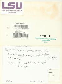 Arthonia polymorpha image