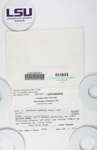 Coniocarpon cinnabarinum image