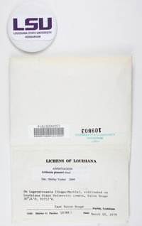 Arthonia pinastri image