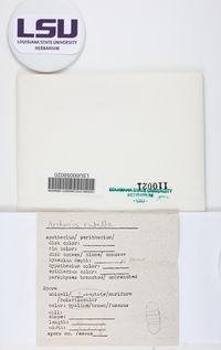 Arthonia rubella image