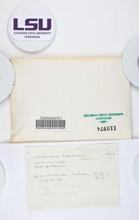 Bacidia schweinitzii image