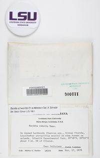 Image of Bacidia brittoniana