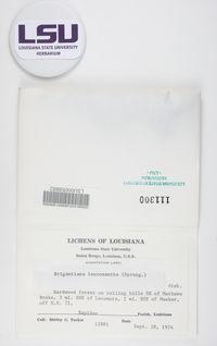Brigantiaea leucoxantha image