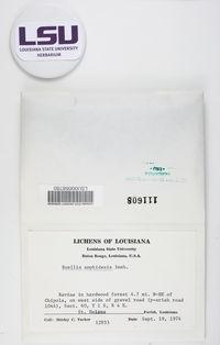 Buellia circumpallida image