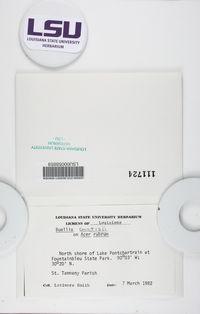 Baculifera curtisii image