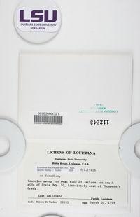Byssoloma leucoblepharum image