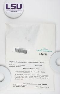 Caloplaca cinnabarina image