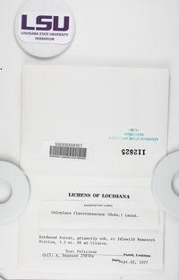 Gyalolechia flavorubescens image
