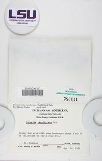 Canoparmelia caroliniana image