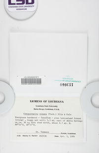 Canoparmelia texana image