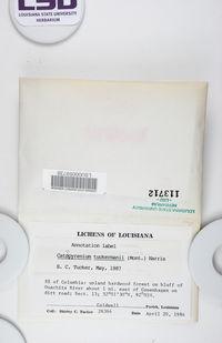 Placidium arboreum image