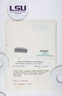 Chrysothrix xanthina image