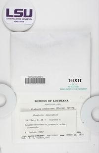 Cladonia coniocraea image