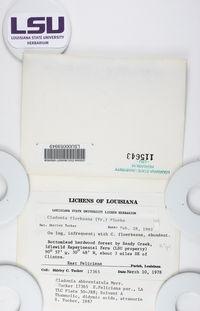 Cladonia abbreviatula image