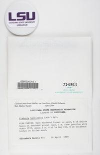 Cladonia macilenta var. bacillaris image