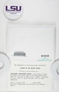 Cladonia subcariosa image