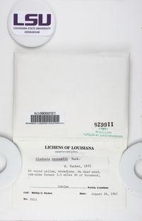 Cladonia ravenelii image