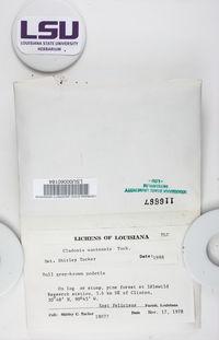 Cladonia santensis image