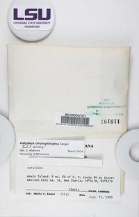 Caloplaca granularis image